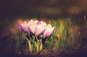 Vintage photo of Crocus flowers — Stock Photo