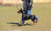 Doberman Pinscher in training — Stock Photo