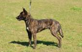 Dutch shepherd dog in field — Stock Photo