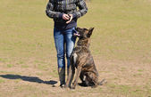 Dutch shepherd dog — Stock Photo