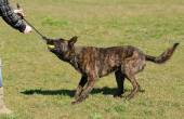 Dutch shepherd dog in field — Stock Photo