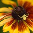 Tiny crab spider waiting for on a Black-eyed Susan flower — Stock Photo #78106716