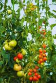 Beautiful natural grown plants of tomato — Stock Photo