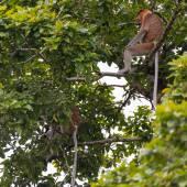 Scimmia proboscide — Foto Stock