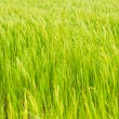 Green rice crop background — Stock Photo #60346581