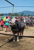 Buffalo market in Rantepao — Stock Photo
