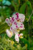 Malaysian Borneo orchid garden — Stock Photo