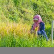 Rural life and farmland in Indonesia — Stock Photo #70509185