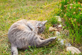 Cat lying on side on the grass looking at camera — Стоковое фото