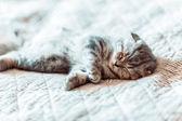šedá kočka uvolňuje a sny na posteli — Stock fotografie