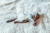 灰色の猫が緩和し、ベッドの上の夢 — ストック写真