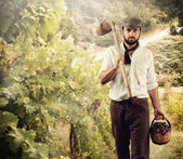 Winegrower while harvest grapes — Foto Stock