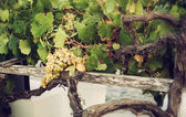 Bunch of white grapes in the vineyard. — Stock Photo
