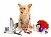 Spitz dog with cosmetics — Stock Photo