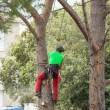 Man pruning pine tree. — Stock Photo #72129913