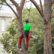 Man pruning pine tree. — Stock Photo #72130069
