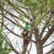Man pruning pine tree. — Stock Photo #72130455