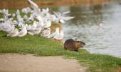 Coypu with seagulls in park — Stock Photo