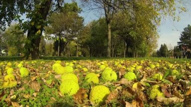 Osage Orange Fruit Falling From Tree — Stock Video