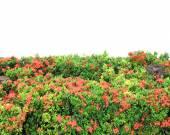 Вест-индский жасмин — Стоковое фото