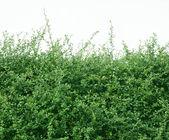 Shrubbery small tree — Stock Photo