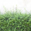 Bushes fence leaves green — Stock Photo #63626963