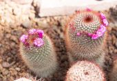 Thermal plants cactus plant group — Stock Photo