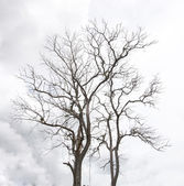 Dead Tree without Leaves droughts — Stock Photo