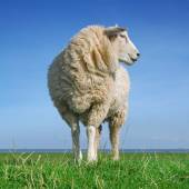 The looking sheep — Stock Photo