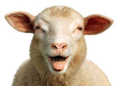 Funny sheep — Stock Photo