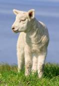 Little Lamb — Stock Photo