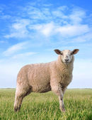 The pretty sheep — Stock Photo