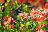 Branch of Japanese quince — Stock Photo