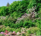 Rhododendron bush — Stock Photo