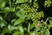 Green unripe currant — Stock Photo