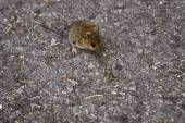 Mouse on road — Stock Photo