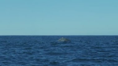 Humpback Whale mammal Ocean surface Pacific coastline — Stock Video