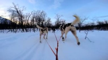 Dogsledding strong animal team working — Stock Video