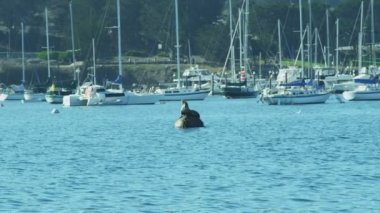 Sea lion mammal Harbour Buoy Monterey, Pacific coast, California, USA — Stock Video