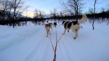 Dogsledding strong animal team working — Vídeo de stock