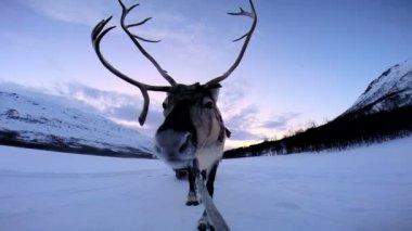 挪威驯鹿拉的雪橇 — 图库视频影像