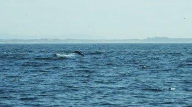 Sea lion animal swimming Monterey Pacific Ocean — Stock Video