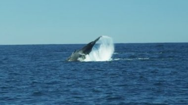 Humpback mammal ocean whale large tail fluke, Pacific Ocean — Stock Video
