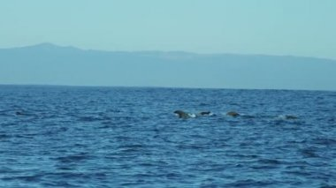 Sea lions Humpback Whales blowholes, California coastline, USA — Stock Video