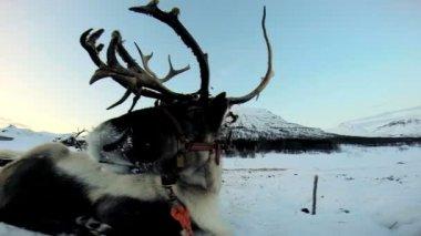 Grey horned Reindeer resting — Stockvideo