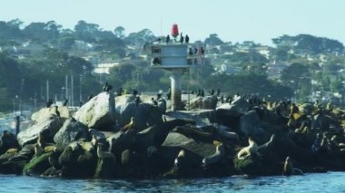 California Sea lions on rocks animal, Monterey Harbour, California, USA — Stok video