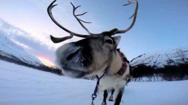 Puxando trenó de renas norueguesas — Vídeo stock