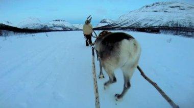 Norwegian Reindeer pulling sledge — Vídeo stock