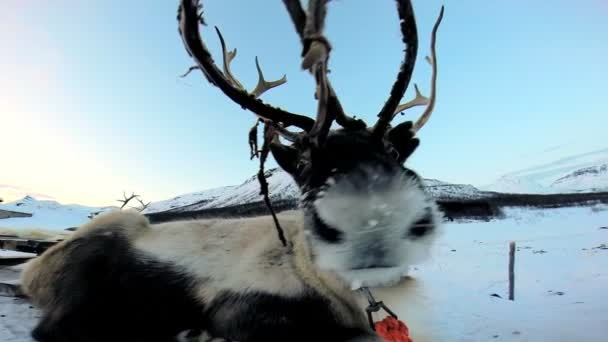 Grey horned Reindeer resting — Vídeo de stock