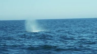Whale watching blowhole ocean swimming Humpback whales, California, USA — Stock Video